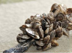 Zebra/ Quagga Mussels