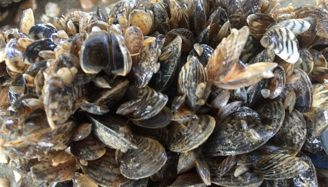 No Invasive Mussels Detected in Columbia Shuswap 2016