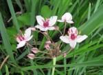 Flowering_Rush_ISCBC
