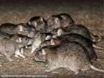 Norway Rats - AEPMA