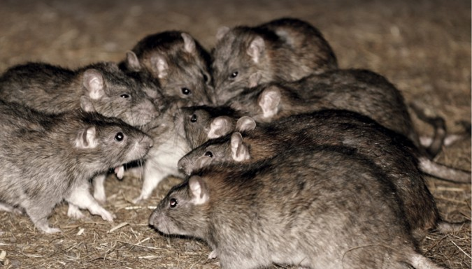 Invasive rats looking to invade your property this fall!