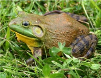 American Bullfrog Risk Assessment for Columbia Shuswap released