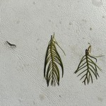 Eurasian (left) and Native Milfoil (right) (H.Kassa CSRD)