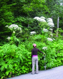 Giant_hogweed007_JHallworth_1