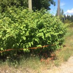 Knotweed MOTI ROW Salmon Arm
