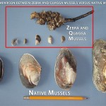 [Image 2] Mussel ID_Photo Credit_ BC Ministry of Forests, Lands and Natural Resource Operations