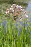 Flowering_rush Photo ISCBC