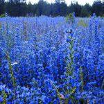 Blueweed