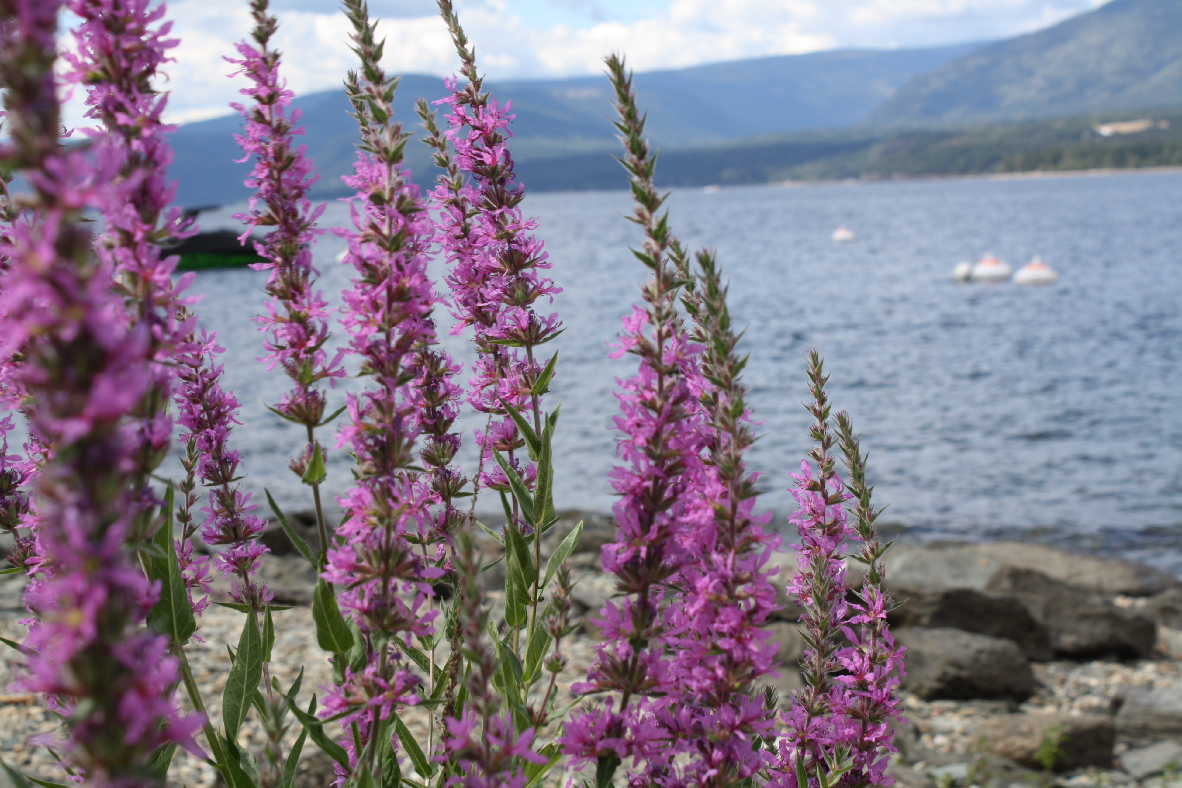 Columbia Shuswap Invasive Species Society